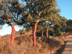 4 Landscapes Cork Trees