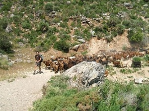 Andalucian Goats